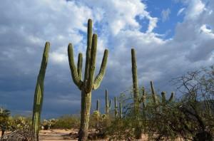 Saguaros 1