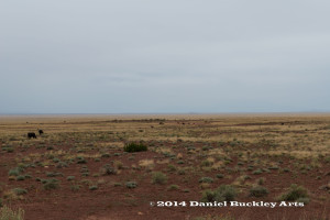 Cattle graze along Meteor Crater Road