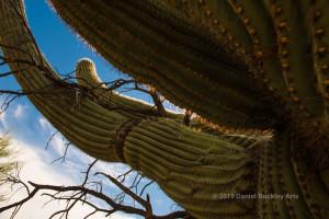 Saguaro-arm_DSC8274-sw-dba