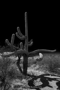 Saguaros-dance_DSC8229-GS-sw-dba