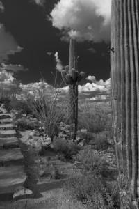 Night-saguaro DSC6047-GS-sw-dba-1