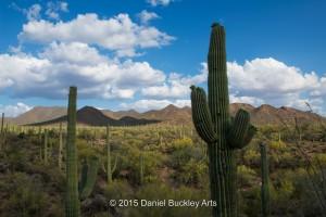 Saguaros DSC6063-sw-dba-1